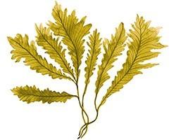 L'Algue Brune